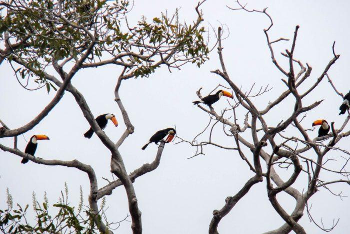 Toekans in de Pantanal, Brazilië
