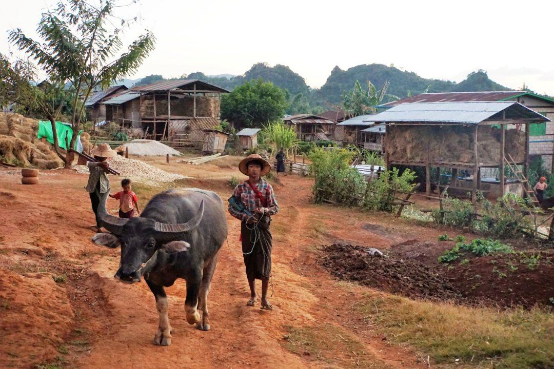 Jongen en buffel bij trekking, Myanmar