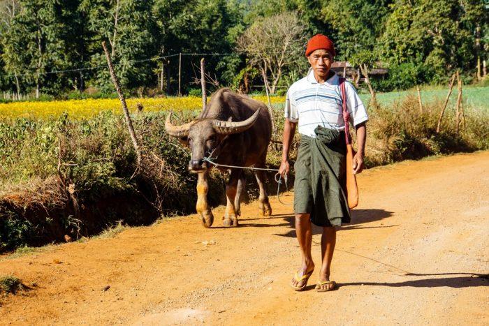 Man met buffel tijdens trekking van Kalaw naar Inle Myanmar