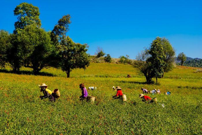 Peperoogst tijdens trekking van Kalaw naar Inle Myanmar