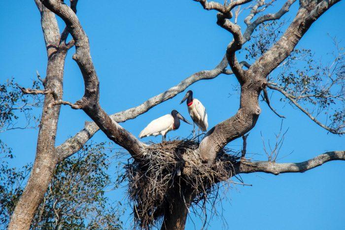 Jabiru's in de Pantanal, Brazilië