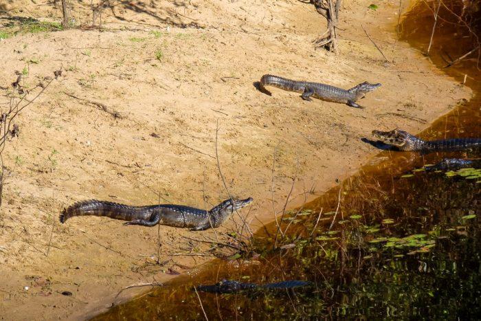 Kaaimannen in de Pantanal, Brazilië