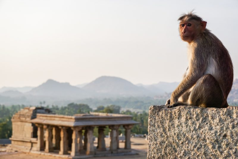 Een aap op Hemakuta Hill in Hampi, India