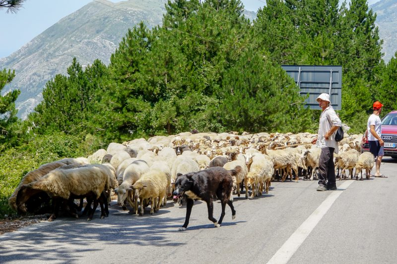 Schapen op de weg, Albanië