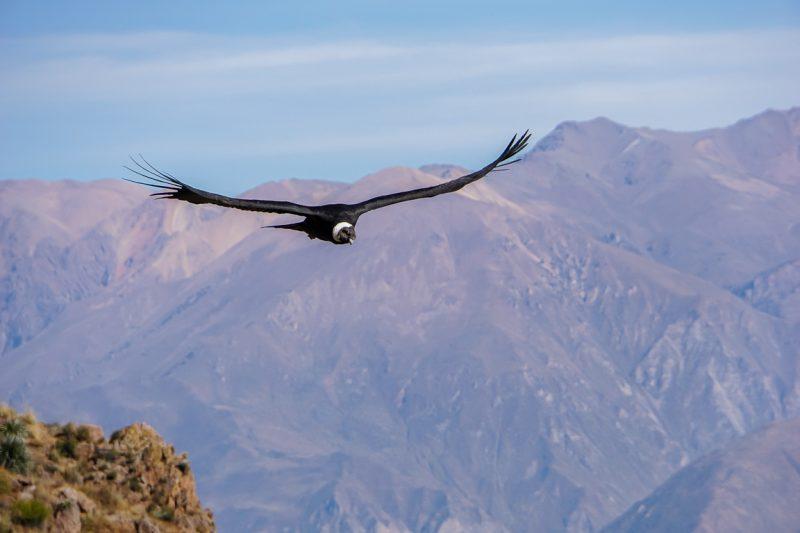 Condor bij Cruz del Condor, Peru