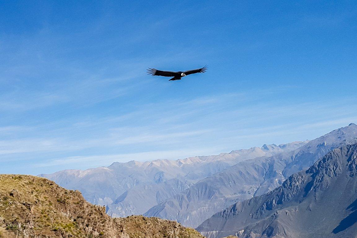Condor boven Colca Canyon, Peru