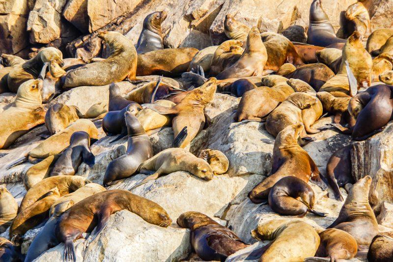 Groepje van zeeleeuwen bij de Islas Palomino bij Lima, Peru