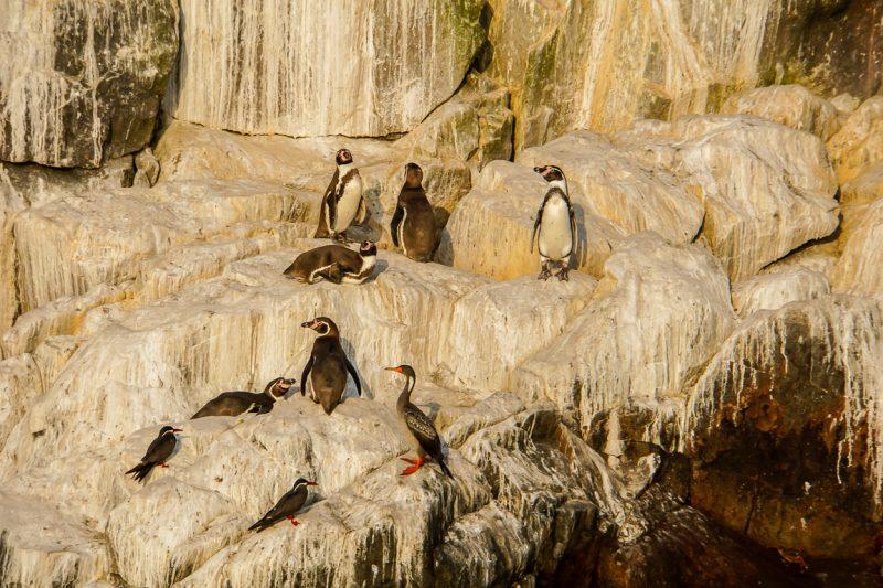 Pinguins bij Islas Palomino bij Lima, Peru