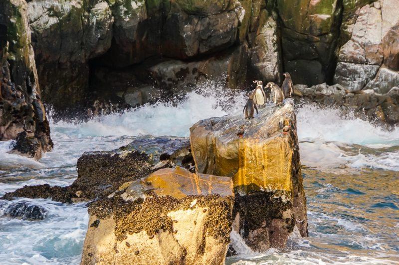 Pinguins op rots bij de Islas Palomino bij Lima, Peru