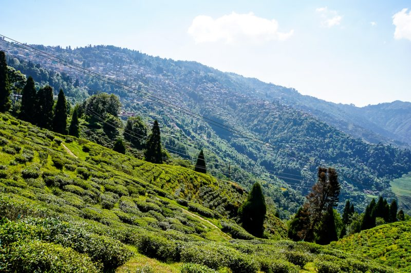 Theevelden van Happy Valley Tea Estate in Darjeeling, India