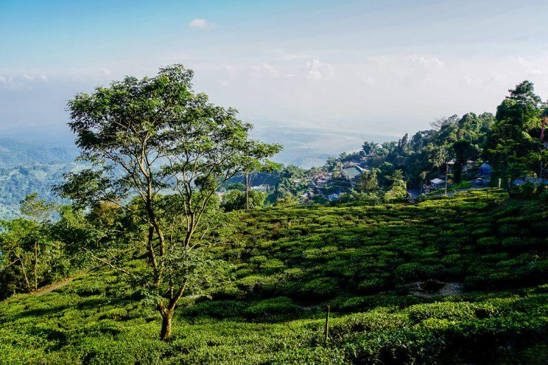 Theevelden van Maikabari in Kurseong bij Darjeeling, India