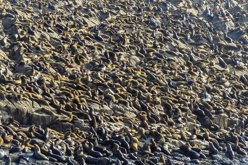 Veel Zeeleeuwen bij de Islas Palomino bij Lima, Peru