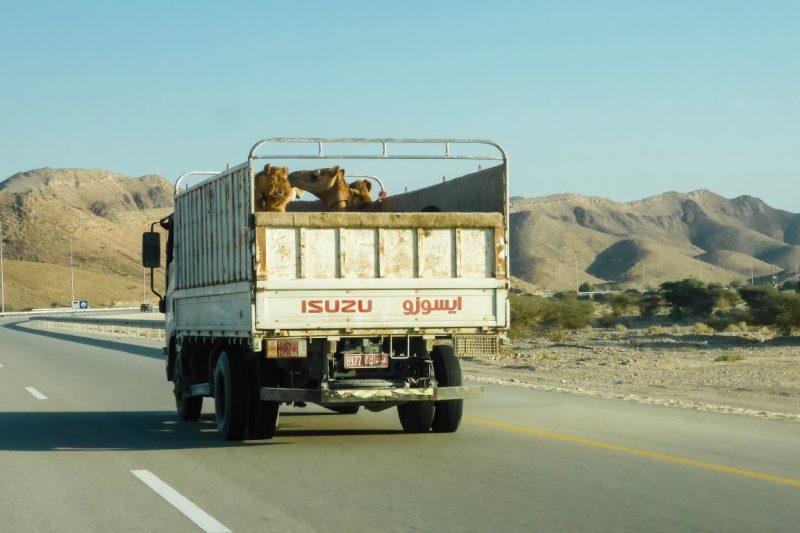 Vervoer van kamelen in Oman